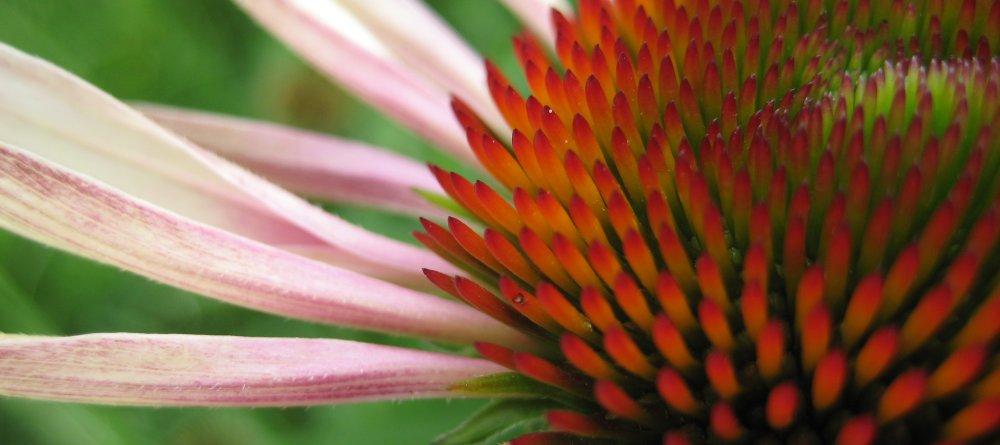 cone-flower