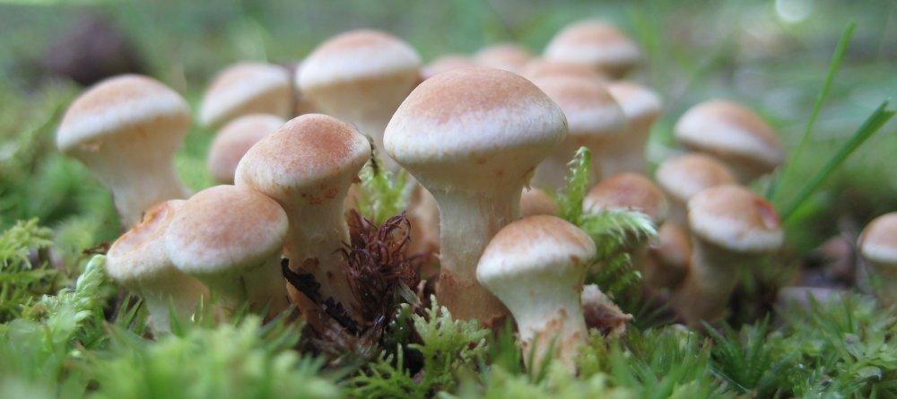 mushroom_caps